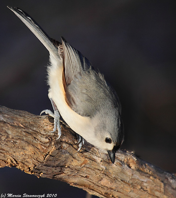 Titmouse looking down