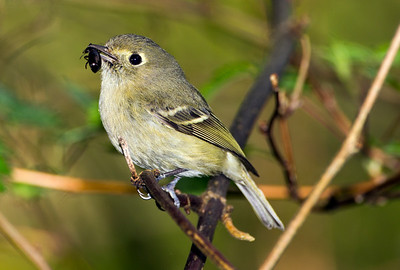 Hutton's Vireo on the forest trail at Point No Point County Park in Hansville, Washington.