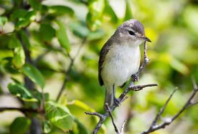 Warbling Vireo at Point No Point County Park in Hansville, Washington.