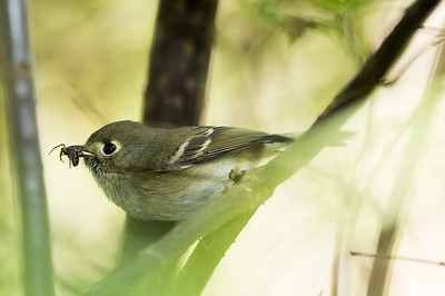 Hutton's Vireo with a spider for its young.  Photo taken at Point No Point County Park in Hansville, Washington.