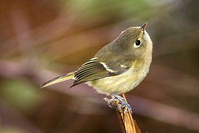 Hutton's Vireo at the Kitsap Lake Park near Bremerton, Washington.