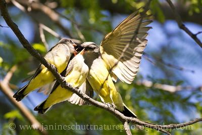 Adult Western Kingbird feeding its young.  Photo taken at the Vernita Rest Area in Benton County, Washington.
