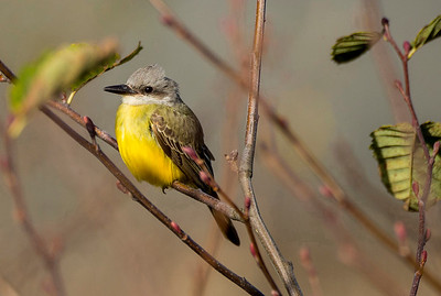 Tropical Kingbird in Neah Bay, Washington.