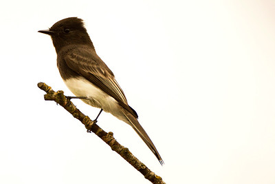 Black Phoebe by the Pintail Marsh of the Ankeny National Wildlife Refuge near Ankeny, Oregon.