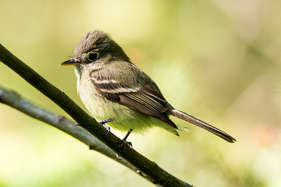 Pacific-slope Flycatcher at the Bonaparte Lake Recreation Area near Republic, Washington.