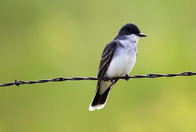 Eastern Kingbird at the Swanson Lakes Wildlife Area near Creston, Washington.