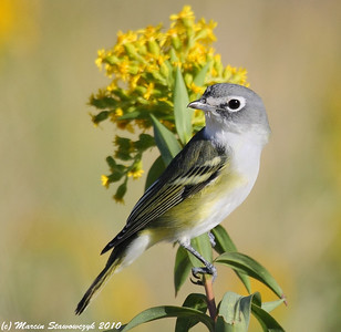 Other Warblers and Vireos