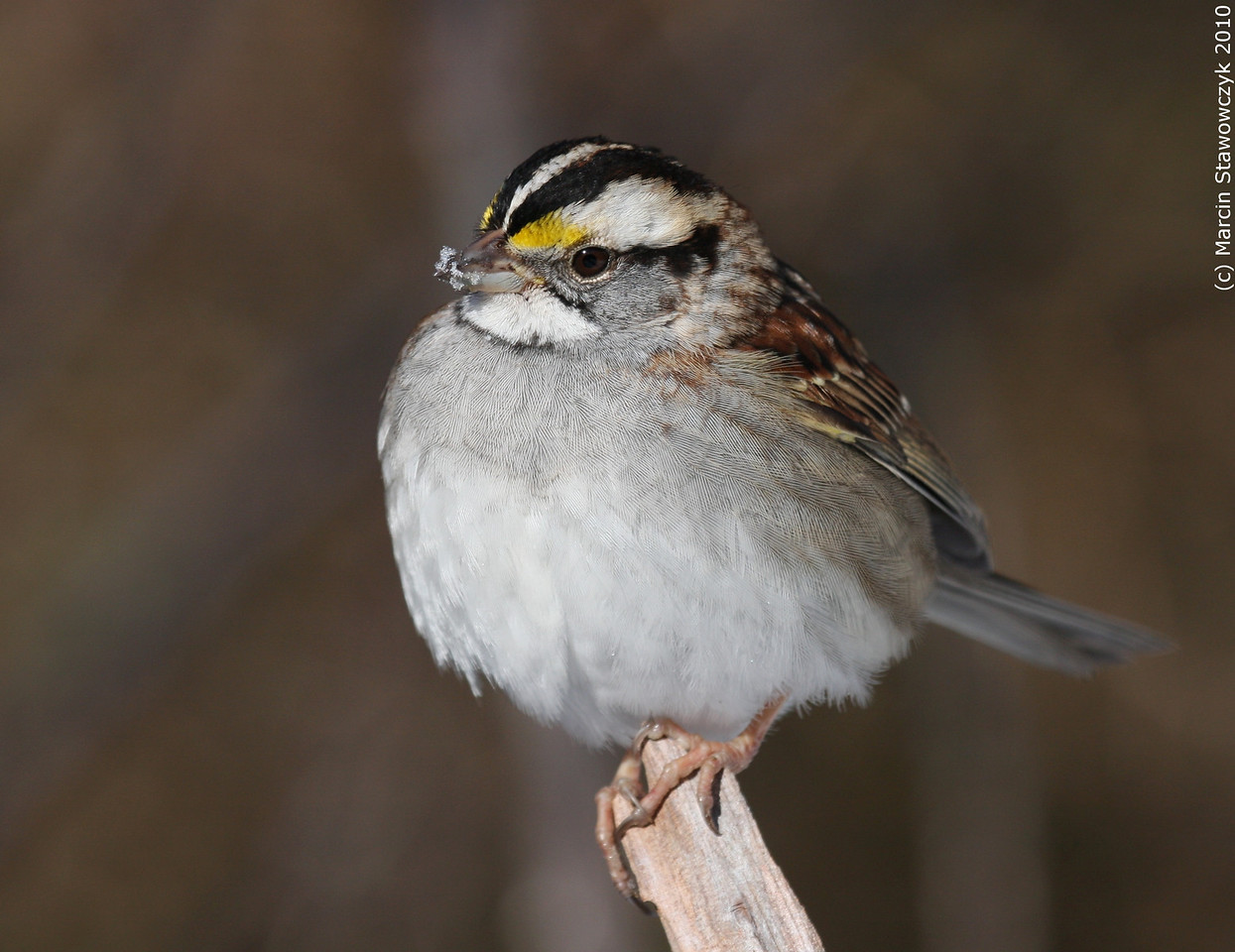 Perching sparrow