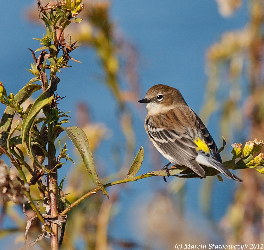 Little warbler