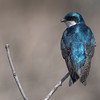 tree swallow          111