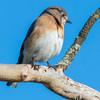 bluebird   sm     19