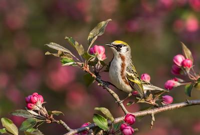 Chestnut-sided Warbler Calling