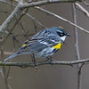 yellow rumped warbler          1311sm