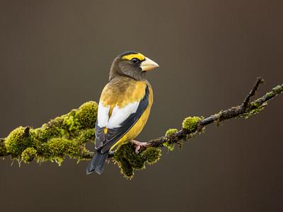 Evening Grosbeak Male