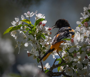 Baltimore Oriole biting a bud