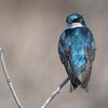 tree swallow          211