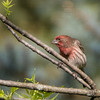 house finch      711