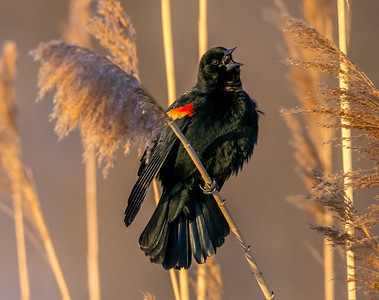 Singing Redwing Blackbird
