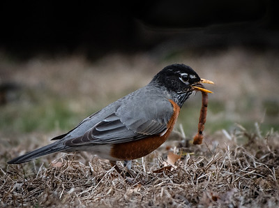 Robin and a worm