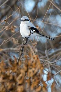 Loggerhead Shrike 3