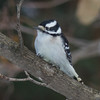 downy woodpecker female  sm    4