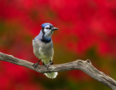 Blue Jay After the Rain
