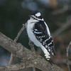 downy woodpecker female  sm    5