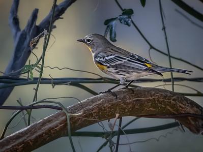 Audubon's Warbler (Arizona field marks)