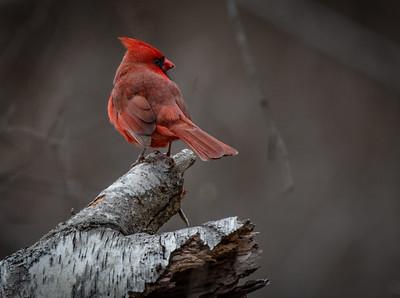 Northern Cardinal on White Birch horizontal