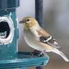goldfinch sm    3