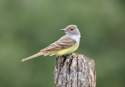 Great Crested Flycatcher on Fence Post