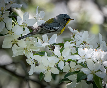 Northern Parula in Crabapple Tree