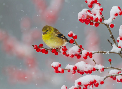 Goldfinch on Winterberry