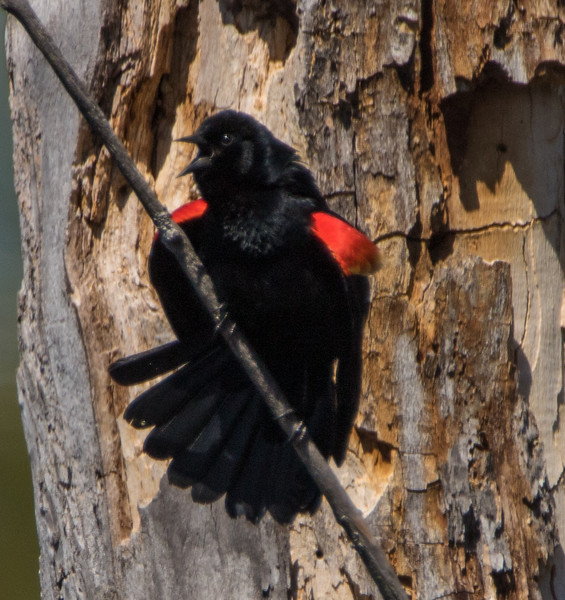 red wing blackbird          110