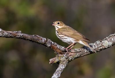 Ovenbird on Ash