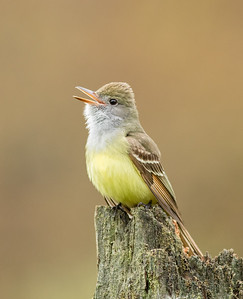 Great Crested Flycatcher Calling