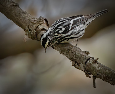 Black & White Warbler looking down