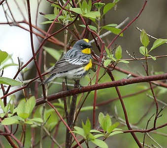 Yelllow-rumped Warbler, Sportsman State Park, Yakima