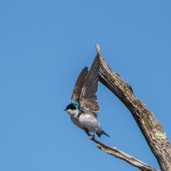 tree swallow               1510