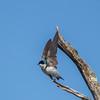 tree swallow               1510