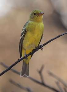 Western Tanager (female), Rattlesnake area, 2014