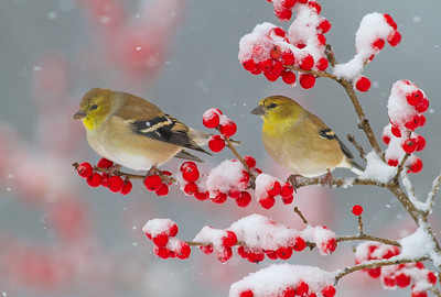 Goldfinches on Winterberry