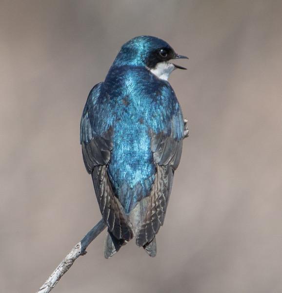 tree swallow         511