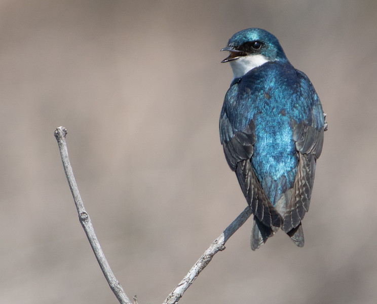 tree swallow          411