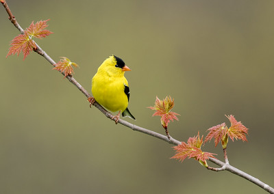 American Goldfinch on Spring Maple