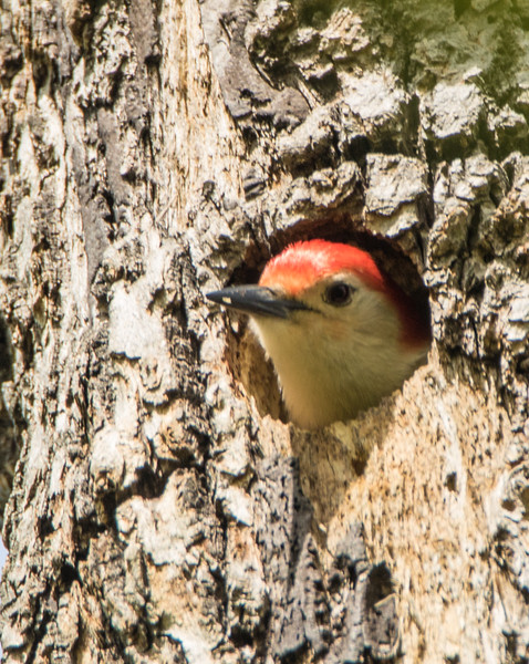 red bellied woodpecker            211