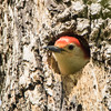 red bellied woodpecker            211