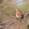 bluebird                   1711