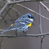 yellow rumped warbler          1211 smpsd