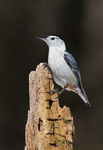 White-breasted Nuthatch in Bright Sunlight